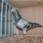 N° 4 : BE 2014-1023818 Ecaillée Super Voyageur -12° Ace Pigeon Provincial Long Distance KBDB