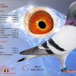 B16-2281107 : Marco : Petite-Fils Girder Jos Thoné – 1/2 Frère 1er Nat Ace Pigeon C.C