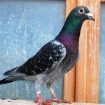 N° 55 : 2015-323110  Ecaillé Noir   « le p'tit crack du pigeonnier»
