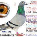 A. & P. Margris de Gennes Ivergny (62) : Hermine d'Illius remporte le 1er St-Junien Vieux et Plus grande vitesse des 8939 pigeons