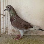 BE 14-2237112 : Petit fils du VALE CAHORS : 1°National Cahors s /4971 pigeons PUR DESBUQUOIS
