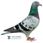 N° 25 : NL 17-3719311 – Petite-fille Gilbert 1er As Pigeon NPO 2011