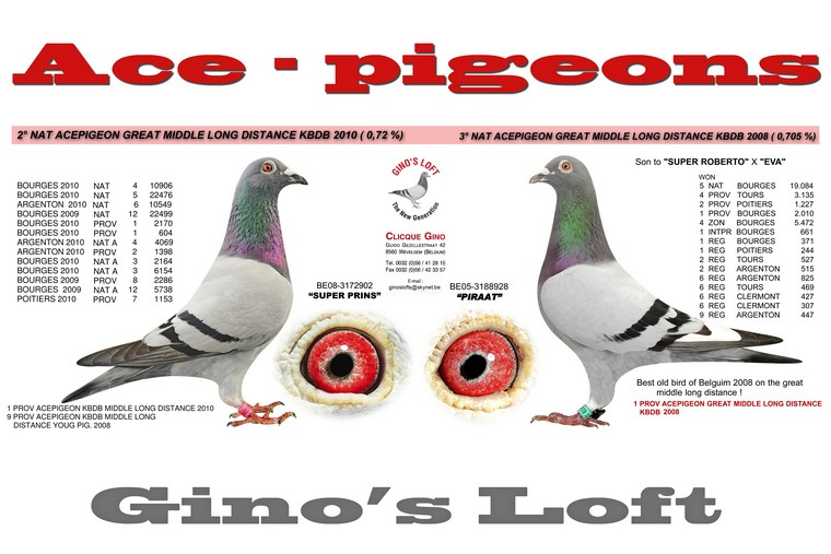 ace-pigeons gino clicque