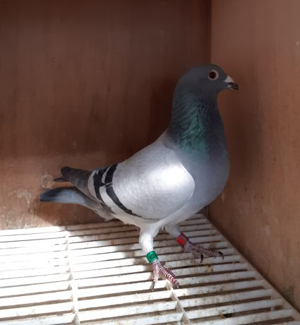 pigeon 426 224