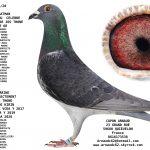 N° 32 : 94268-20 Femelle Fils du Crow Jos Thoné * karine  directe Jos Thoné