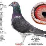 N° 31 : 94356-20 Mâle 20  Fils du Crow Jos Thoné * Lady Gaga 1° nord pas de calais Limoges f