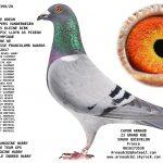 N° 30 : 94399-20 Femelle 20   Dream père 1° as pigeon Francolomb * consanguine du mondialement celèbre Harry