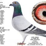 N° 28 : 95238-20 Mâle Kees Bosua : Fils du top producteur Leon * Fille Joey 4° as pigeon npo 2017 grand demi fond