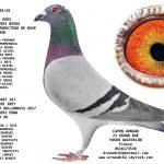 N° 29 : 95239-20 Mâle Kees Bosua : Fils du top producteur Leon * Fille Joey 4° as pigeon npo 2017 grand demi fond