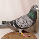 62146-17 : Femelle Écaillée  Sœur de top pigeons