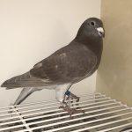 FR 068426-16 Mâle Fils 4e As Pigeon européen 2015