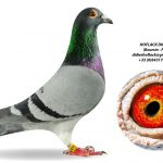 1.03 : FR2019-028296 : Fils Miss Montauban Pigeon Olympique Poznan