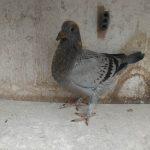 1.03 : FR2020-059734 : Fils ou Fille 1er AS Pigeons Demi fond groupement de l'Oise 2020