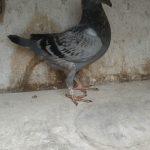 1.02 : FR2020-059735 : Fils ou Fille 1er AS Pigeons Demi fond groupement de l'Oise 2020