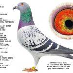1.02 : FR2019-29050 : Origines BLACK MAGIC (1er International Perpignan), NEW LAUREAAT, ZWART GOUD Jelle Jellema