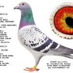 1.01 : FR2019-29071 : Origines BLACK MAGIC (1er International Perpignan), NEW LAUREAAT, ZWART GOUD Jelle Jellema